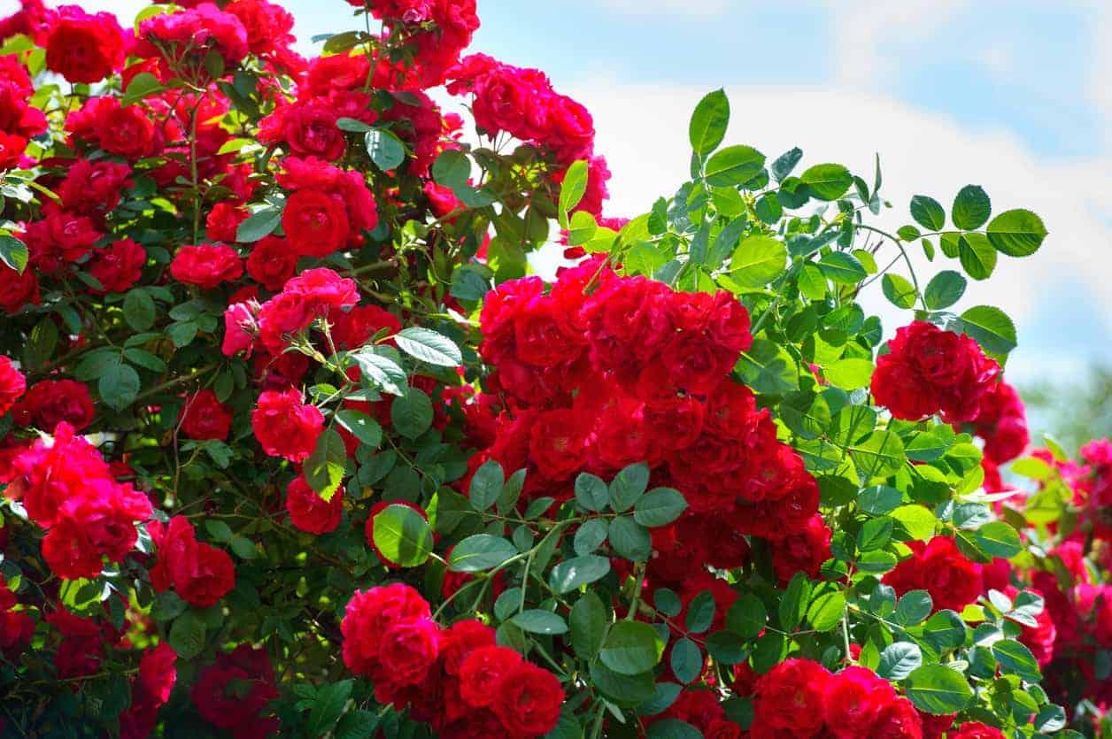 Hardy Shrub Roses For High Elevations Trail Creek Nursery