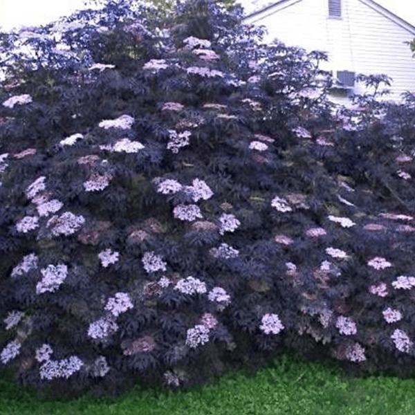 Elderberry Black Lace