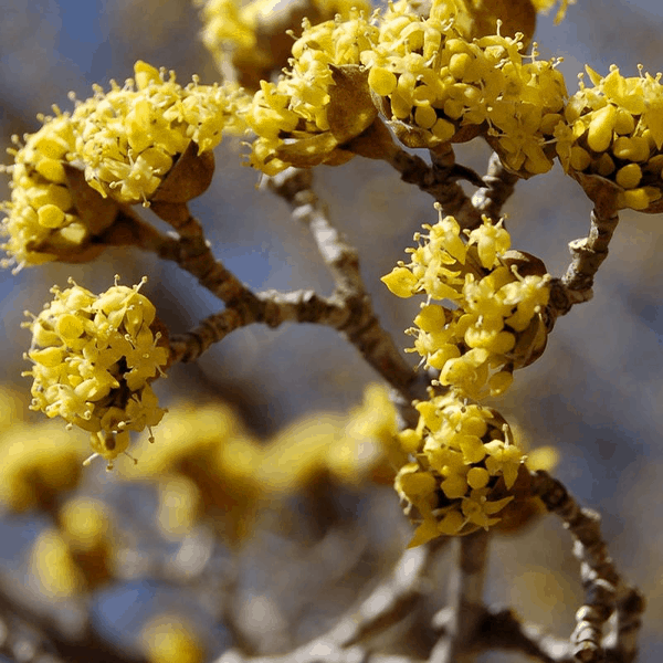 dogwood buds yellow