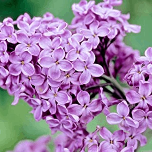 Lilac Purple Common