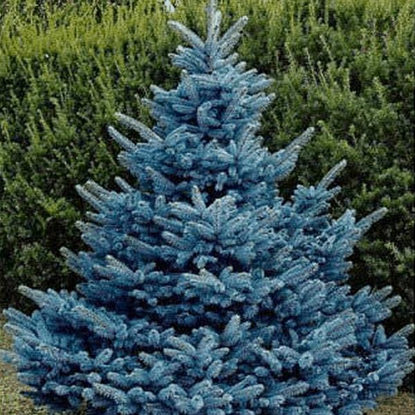 colorado spruce