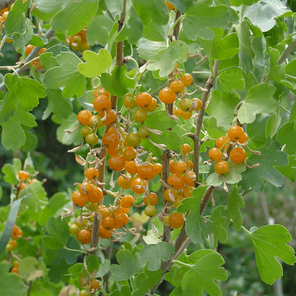 Currant Gold Native