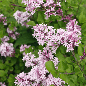 Lilac Dwarf Korean