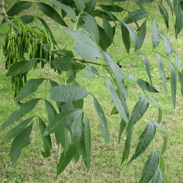 European Ash