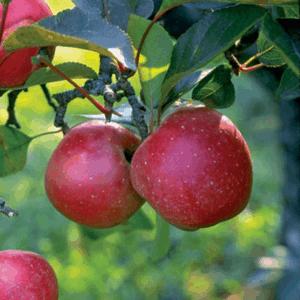 Harcourt Apple
