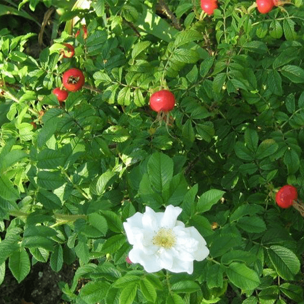 Rose Henry Hudson