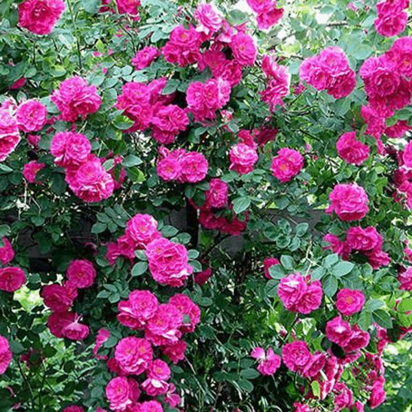 Rose John Cabot