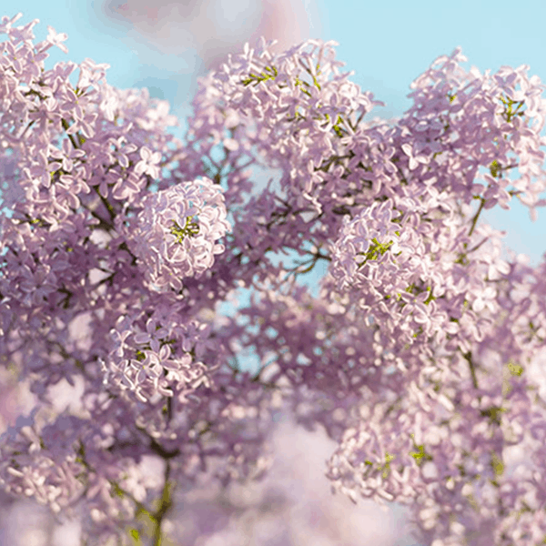 Lilac Late