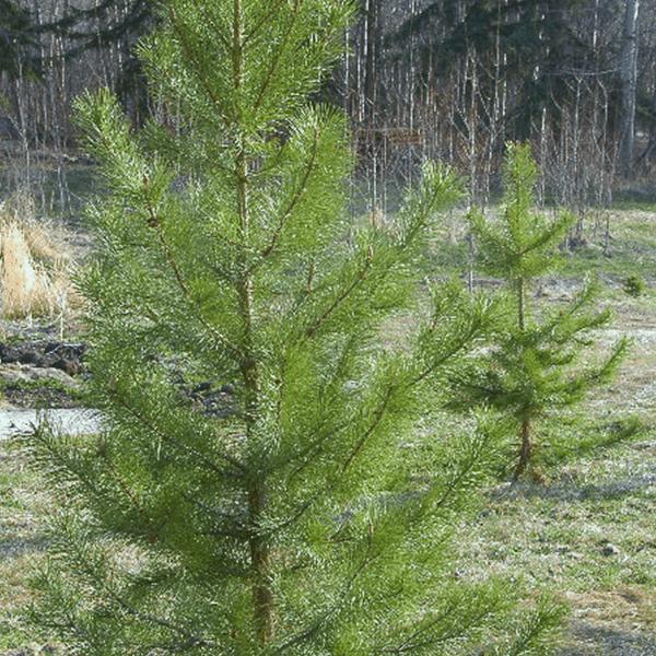Pine Lodgepole