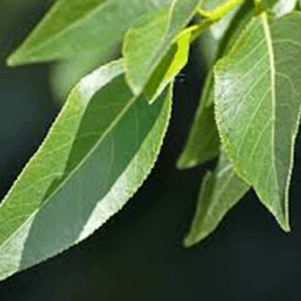 Poplar Narrowleaf