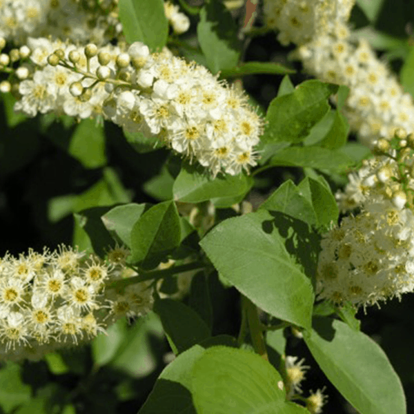 Native Chokecherry