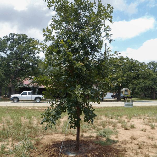 Oak Burr