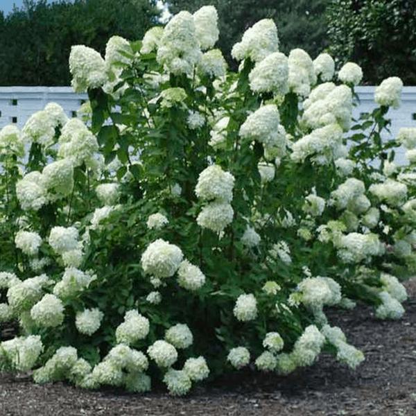 Hydrangea Peegee