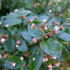Cotoneaster Peking