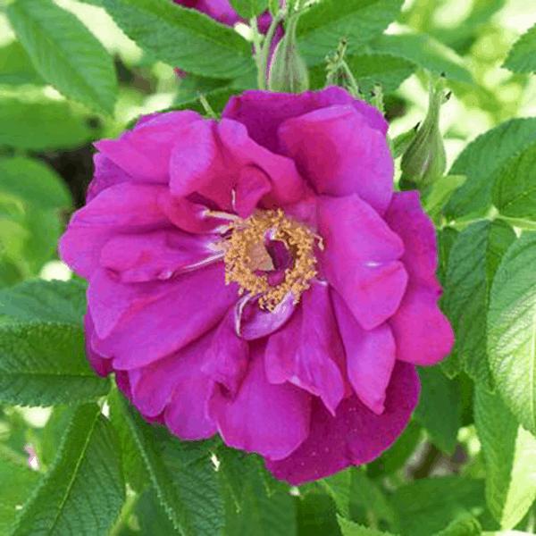 Rose Purple Pavement