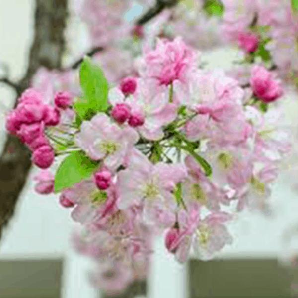 Radiant Flowering Crabapple