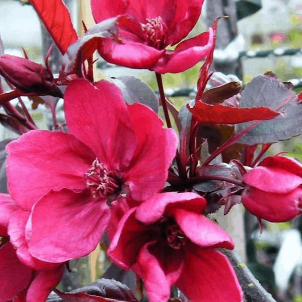 Royalty Crabapple