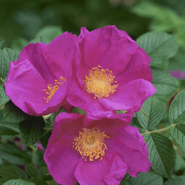 Rose Rugosa