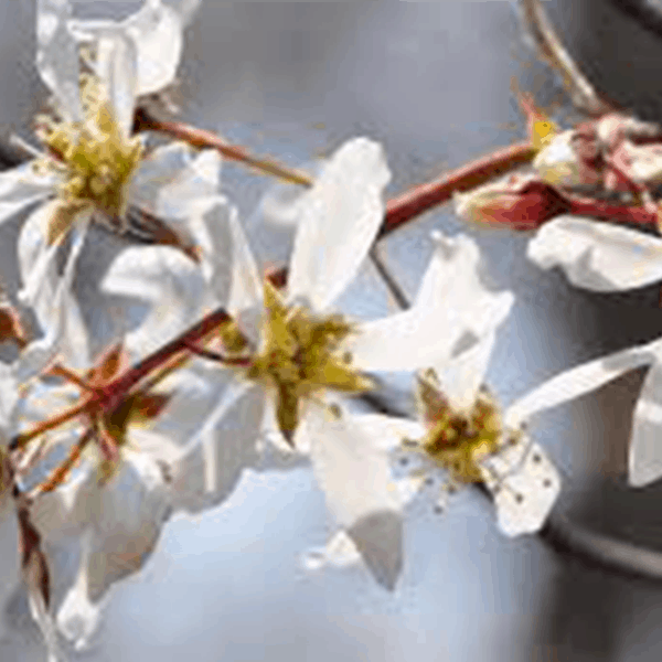 Serviceberry Native