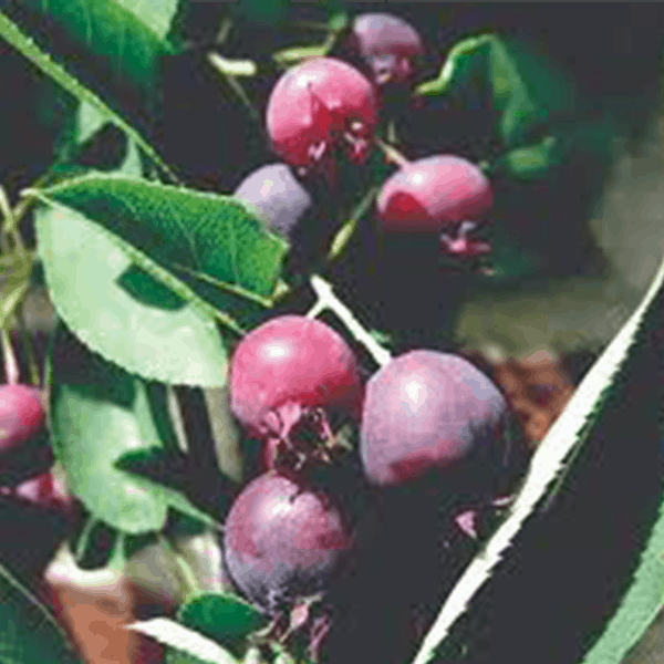 Serviceberry Native