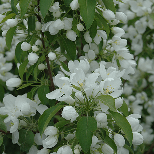 Spring Snow Crabapple