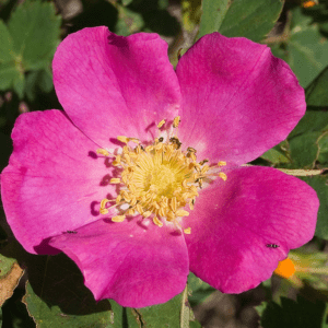 Rose Woods Pink