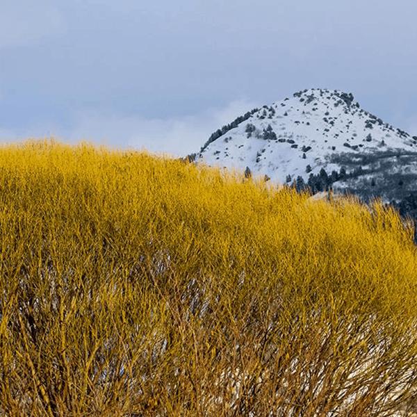 Yellow Mountain Willow