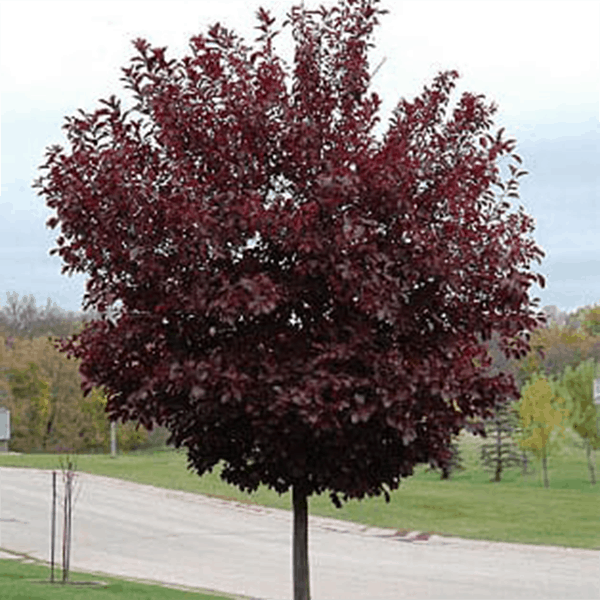 chokecherry canada red leaf